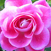 Pink rose bloom