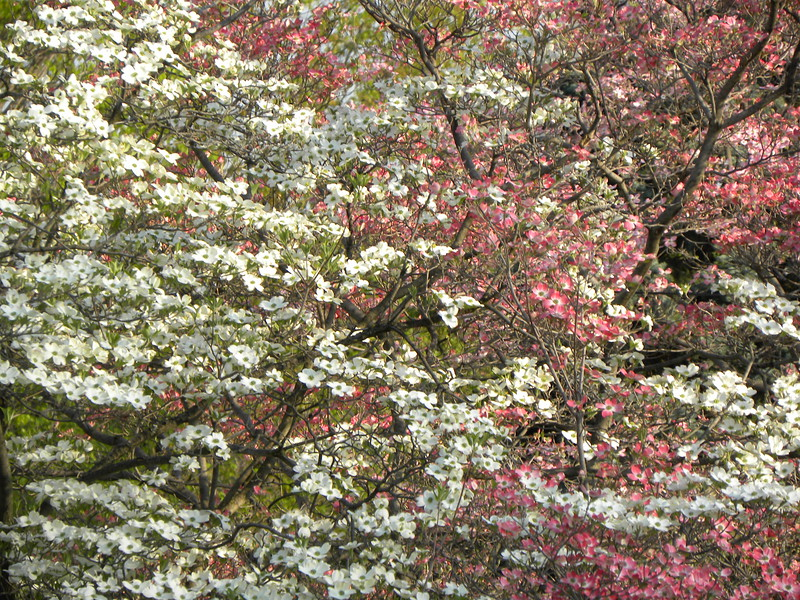 A mess of dogwoods