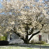 White house, white cherry