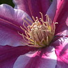 At the heart of the clematis