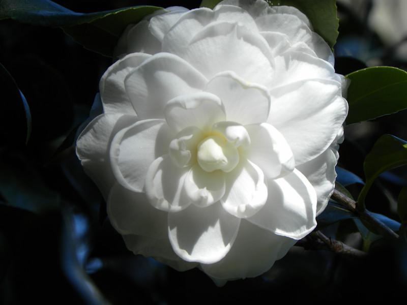 White Florida bloom