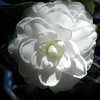 White Florida bloom