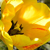 Sunlit yellow tulip, inside