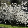 White cherry explosion