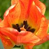 Tulip creature