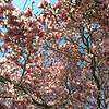Bursting tulip magnolia