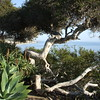 California coastal tree