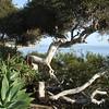 California coastal tree