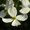 White dogwood, green