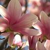 Tulip magnolia blooms, close-up