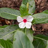Cute little vinca