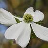 White dogwood 2