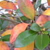 Autumn azalea, orange