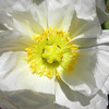 At the heart of a white poppy