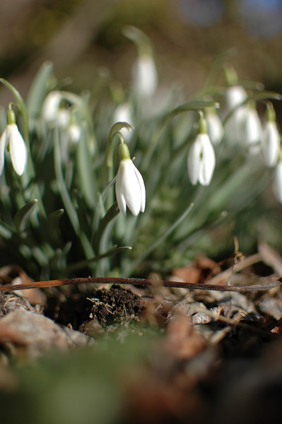 Spring harbingers