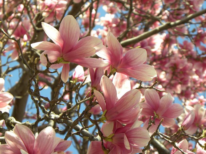 Tulip magnolia blooms