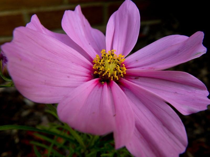 Purple cosmos close-up