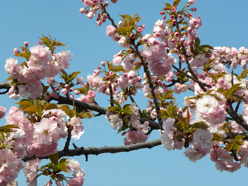 Blue sky pink cherry branch