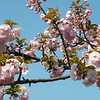 Blue sky pink cherry branch