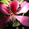 Hong Kong Orchid Tree bloom