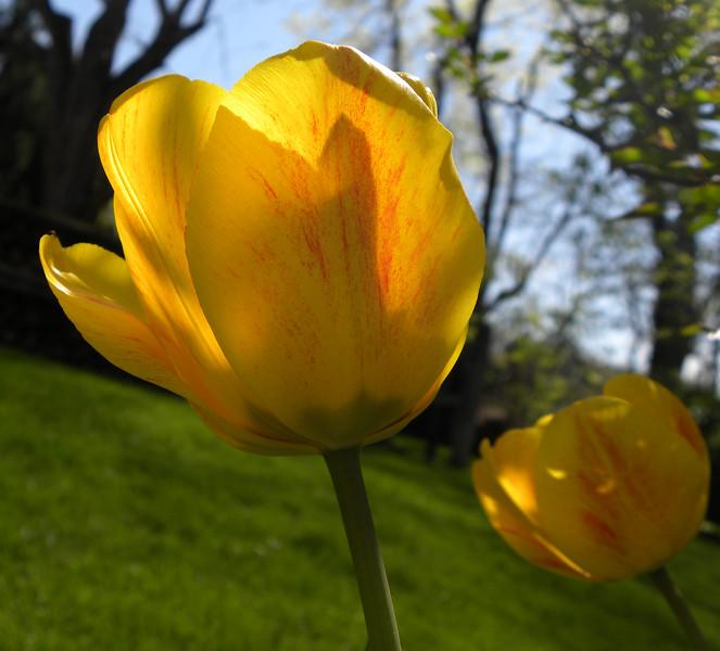 Sunlit yellow tulip 1