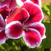 Hot pink geranium close-up