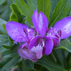 Cool purple blooms, close-up