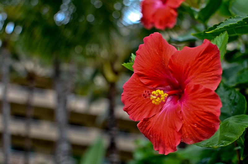 Hibiscus Paradise