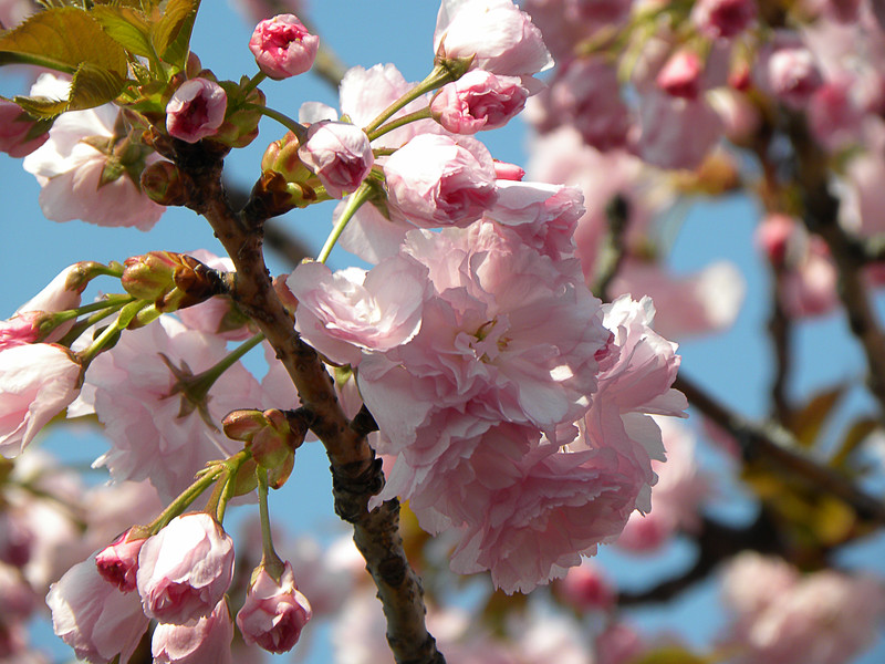 Blue sky pink cherry