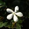 White Cali flower
