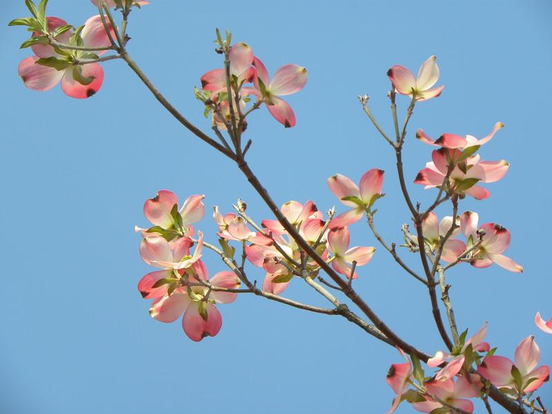 Blue sky pink dogwood branch