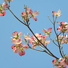 Blue sky pink dogwood branch