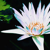 Waterlily F (2012)