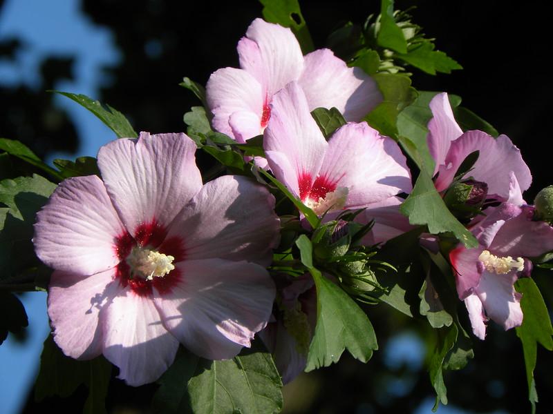 Pink Rose of Sharon