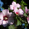 Pink Rose of Sharon