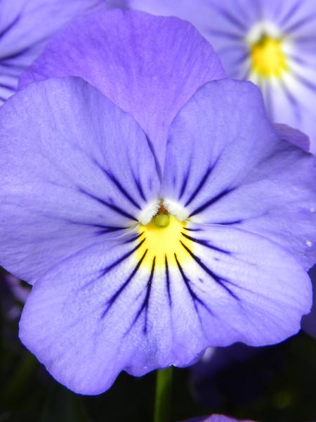 Petite purple pansy