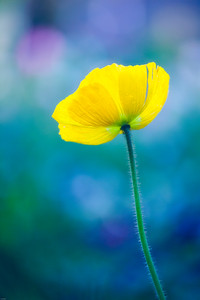 Yellow Poppy in Monet's Garden