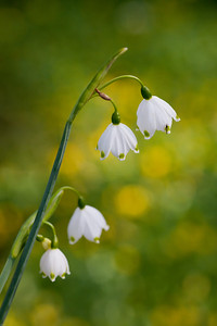 Snowdrops in Spring (Note tiny insect on top blossom) Keukenhof Gardens The Netherlands