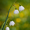 Snowdrops in Spring<br /> (Note tiny insect on top blossom)<br /> Keukenhof Gardens<br /> The Netherlands