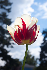 Translucent Tulip Seattle, Washington