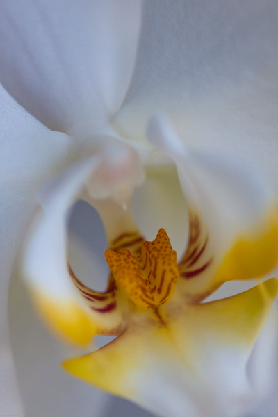 White Orchid Revealed<br /> Keukenhof Gardens<br /> The Netherlands