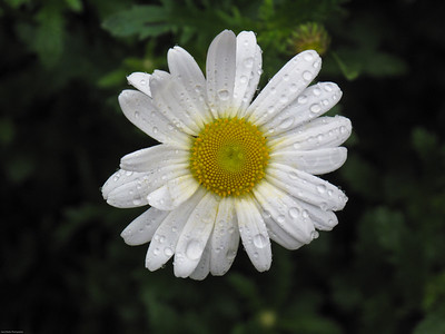 Dewy Daisy Seattle, Washington