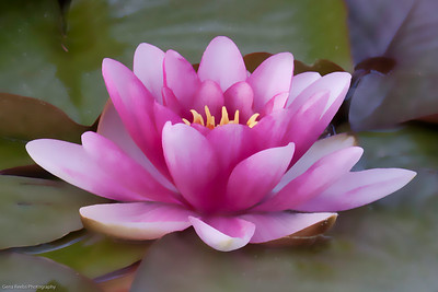 Stylized watercolor water lily.