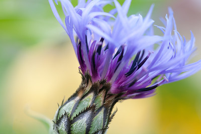 Cornflower Blossoming Monet's Garden, Giverny, France