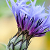 Cornflower Blossoming<br /> Monet's Garden, Giverny, France