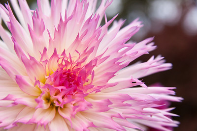 Dahlia Delight Seattle, Washington