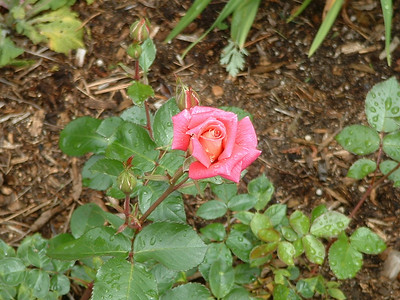 New Rose, Dew Rose