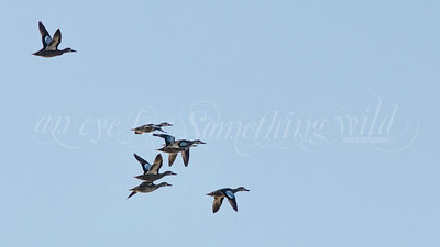 Blue-winged Teal