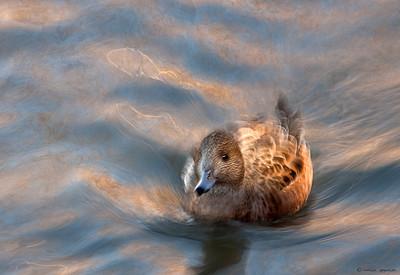 Female Wigeon