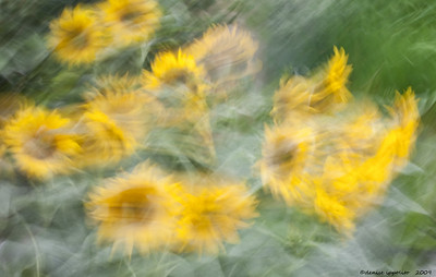 Sunflower Blur
